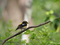 若葉の中のキビタキ - コーヒー党の野鳥と自然 パート2