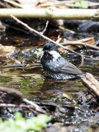 どんぐり池でヒガラが水浴び - コーヒー党の野鳥と自然 パート2