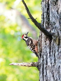 戸隠でオオアカゲラを撮影 - コーヒー党の野鳥と自然 パート2