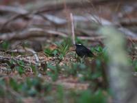 高いお山で・・・マミジロ。 - 鳥見んGOO!(とりみんぐー!)野鳥との出逢い
