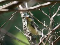 青葉の森公園で、シジュウカラの幼鳥の群れ - 花と葉っぱ