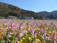 松崎の桜並木とお花畑♪こんなに広いお花畑見たのは初めて♪青春18きっぷ&伊豆ドリームパスの旅♪ - ルソイの半バックパッカー旅