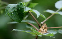 梅雨入り秒読み - 紀州里山の蝶たち