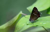 梅雨入り秒読みその2 - 紀州里山の蝶たち