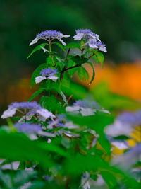紫陽花には雨が似合う - 相模原・町田エリアの写真サークル「なちゅフォト」ブログ!
