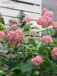Hydrangea Charmant - Gardener*s Diary