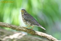 クロツグミ - 奥武蔵の自然