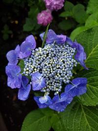 センスオブ紫陽花ワンダー【梅雨入りでしてん】 - さとられず