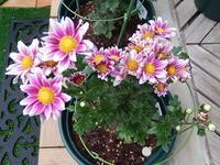 二度咲き菊(シェリー) - 花空間PHOTO