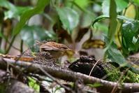 藪の中から・・・ヤブサメ幼鳥 - 鳥と共に日々是好日