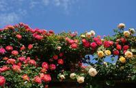花菜ガーデンの薔薇② - ソナチネアルバム
