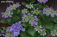 美観地区の紫陽花 - 下手糞でも楽しめりゃいいじゃんPHOTO BLOG