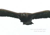 イヌワシの《イヌ》の名の由来には「劣る」と「大きい」の二つの説 - THE LIFE OF BIRDS ー 野鳥つれづれ記