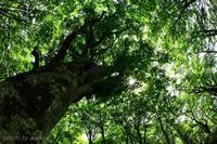 みちのくブナ林2 - みちのくの大自然