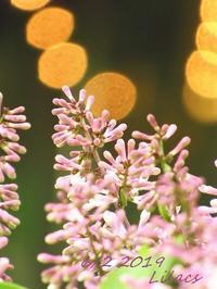 ライラックの花と花粉が降る日々 - NYからこんにちは