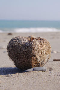 黒潮の運ぶモノ・ゴバンノアシ - Beachcomber's Logbook