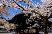 桜咲く京都2019妙顕寺の桜たち - 花景色-K.W.C. PhotoBlog