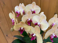 可愛いコチョウラン♪♪ - ブレスガーデン Breath Garden 大阪・泉南のお花屋さんです。バルーンもはじめました。