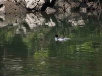 ダム湖のカモ - 飛騨山脈の自然