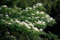 散歩写真【初夏の白い花】 - 駄猫と本の部屋 ぶらん亭