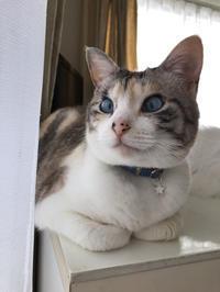 脱走した飼い猫を探しています(2019.6.9) - きよせ猫耳の会(旧 飼い主のいない猫を考える会)