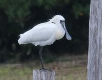 【速報】クロツラヘラサギ、まだいます - 葛西臨海公園・鳥類園Ⅱ