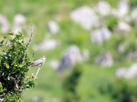 カルストに響く声 - ゆるゆる野鳥観察日記