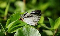 梅雨入り秒読みその3 - 紀州里山の蝶たち