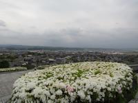 丘に咲く白い花 - タビノイロドリ