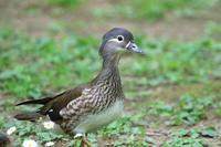 オシドリのチビちゃん達 - 今日の鳥さんⅡ