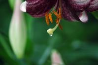 横浜イングリッシュガーデンの花と雫 - 雲外蒼天
