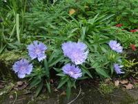 ストケシア - だんご虫の花