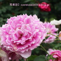 植物園に行く6月-2 - 写楽彩2