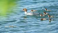 カワアイサ - 北の野鳥たち