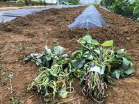 サツマイモの植え付け - 週末農夫コーディーのイケてる鍬の振るい方