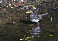 クロツグミ&コルリ - くまさんの鳥撮り