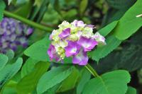 道端で、紫陽花や野の花など - ぶらり散歩 ~四季折々フォト日記~