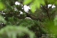 フクロウ巣立ち雛・・・白いダルマさん - フォト エチュード  Photo-Etudes