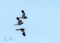 他の鳥を撮影中、ケリが泣きながら飛翔している。誠 - 皇 昇