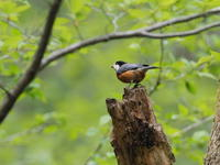 新緑の森にヤマガラもいた - コーヒー党の野鳥と自然 パート2