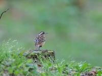 夕暮時のホオジロとニュウナイスズメ - コーヒー党の野鳥と自然 パート2