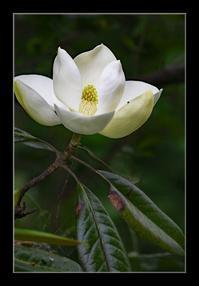 タイサンボクの花 - Desire
