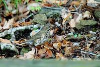 巣材を運ぶクロツグミ雌 - azure 自然散策 ~自然・季節・野鳥~