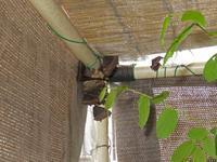 実験中のヒオドシチョウ - 秩父の蝶