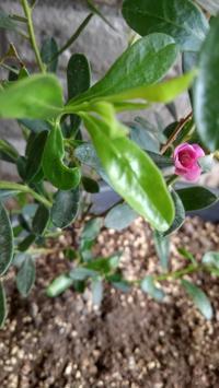 サザンクロス開花 - うちの庭の備忘録 green's garden