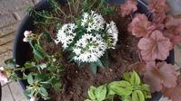ペンタス植え込み - うちの庭の備忘録 green's garden