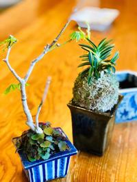 東福寺蕎麦釉下方 -  ■ サムライ オーキッド ■    富貴蘭 セレクトショップ             MAIL samuraittt@gmail.com
