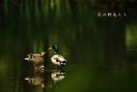 マガモ - 北の野鳥たち