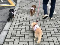 19年6月11日 桃あんのわんプロ! - 旅行犬 さくら 桃子 あんず 日記