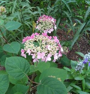 紫陽花 -